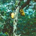 86_15-jack-fruit-brotfrucht-unser-t228glich-brot.jpg